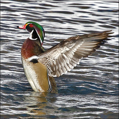 ~ Wood Duck Flap ~ (ViaMoi) Tags: winter wild canada color bird nature duck wings wildlife ottawa redeye waterfowl flap avian stance woodduck naturalist greenhead viamoi