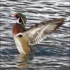 ~ Wood Duck Flap ~ (ViaMoi) Tags: winter wild canada color bird nature duck wings wildlife ottawa redeye waterfowl flap avian stance woodduck naturalist greenhead viamoi