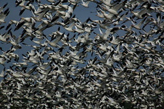 Air Traffic Control Nightmare (sgbaughn) Tags: geese goose snowgeese snowgoose