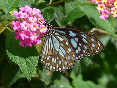 Blue tiger, pink lantana