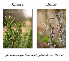 As Rosemary is to the spirit, Lavender is to the soul. 21/365