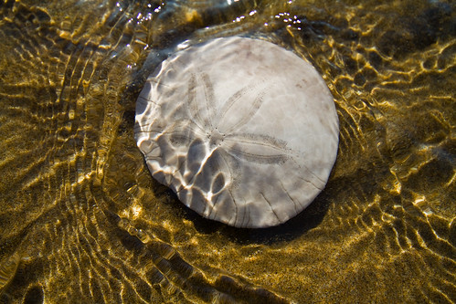 Sand Dollar on Oregon Coast / Larry Brown