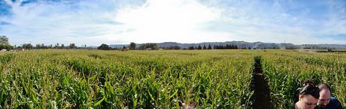 Corn Maze Panorama