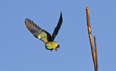 Red-rumped Parrot : Off to Work !!! (Clement Tang ** busy **) Tags: morning bird nature inflight wildlife parrot australia victoria avian birdwatcher closetonature redrumpedparrot westerfoldspark concordians slbflying