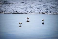 Pequeños pajaritos (Edición :Sara umpierrez) (Aarón Gonz) Tags: del mar agua comida playa su hombre pajaritos buscan