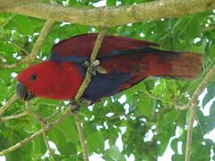 (igo2cairo) Tags: taiwan parrot eclectus