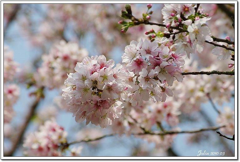 天元宮,櫻花 (32)