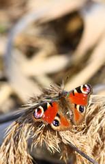 E' primavera!? (Matteo Pagnoni) Tags: vanessa campagna bologna colori wwf farfalla oasi lipu inachisio tamron90mmmacro lepidottero vanessaio canoneos450d oasidibentivoglio bimbol matteopagnoni