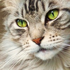 Floris up close again (Cajaflez) Tags: portrait pet closeup cat eyes kat chat longhair greeneyes mainecoon katze ogen portret gatto gatti kater cc800 cc700 cc400 cc300 cc200 cc100 cc500 cc600 groeneogen kissablekat bestofcats kittyschoice catmoments catnipaddicts saariysqualitypictures