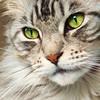 Floris up close again (Cajaflez) Tags: portrait pet closeup cat eyes kat chat longhair greeneyes mainecoon katze ogen portret gatto gatti kater cc800 cc700 cc400 cc300 cc200 cc100 cc500 cc600 groeneogen kissablekat bestofcats kittyschoice catmoments catnipaddicts saariysqualitypictures