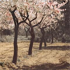 Spring  fields (Inmacor) Tags: light flores flower tree primavera luz canon square spring arboles flor fields printemps sombras campos troncos castellón almendros cuadrado villafames mywinners ltytr2 ltytr1 inmacor