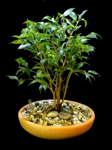 Ficus Terracotta - Bonsai Style