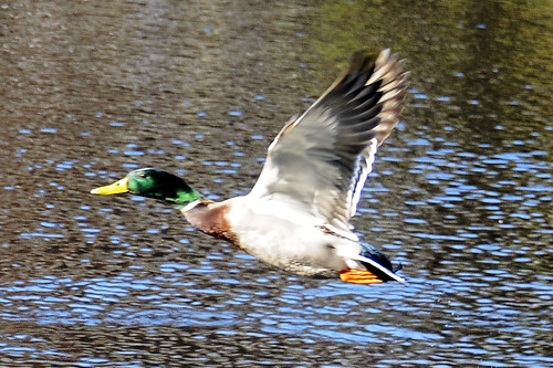 flying mallard 2 fenwick dam