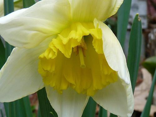 Shy daffodil