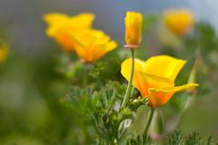 spring bokeh... :) (diamante67) Tags: flowers yellow 50mm nikon dof bokeh d60 f14g beyondbokeh