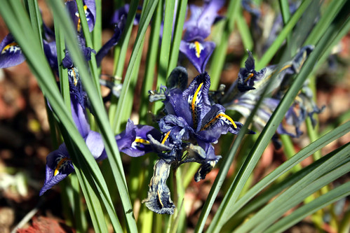 Dwarf Irises near the end of their bloom