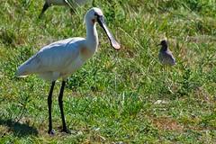 Lepelaar (Silco Saaman) Tags: vogel lepelaar