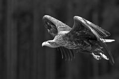 (doevos) Tags: bird czechrepublic oiseau vogel ern zeearend erne seaeagle whitetailedseaeagle whitetailedeagle seeadler haliaeetusalbicilla pygargueàqueueblanche grandaigledemer europesezeearend aiglebarbu