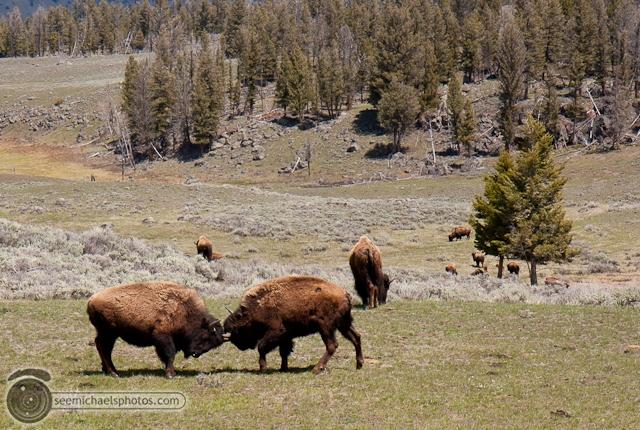 Yellowstone Day 1 52611 © Michael Klayman-032