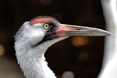 Whooping Crane (Darts5) Tags: bird birds whoopingcrane closeup crane cranes birdseye upclose 7d2 7dmarkll 7dmarkii 7d2canon canon7d2 canon7dmarkii canon