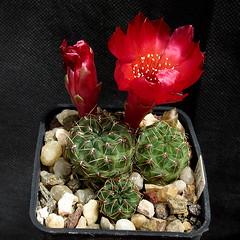 Sulcorebutia pasopayana (var. ungulata) WR593 '512' (Pequenos Electrodomésticos) Tags: cactus cacto flower flor sulcorebutia sulcorebutiapasopayanavarungulata sulcorebutiapasopayana