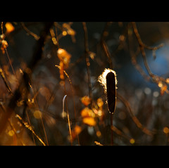 e c l i p s e (anniedaisybaby) Tags: autumn friends light fall nature backlight gold bokeh handheld cattail earlyevening bullrush 400mm notexture magicunicornverybest