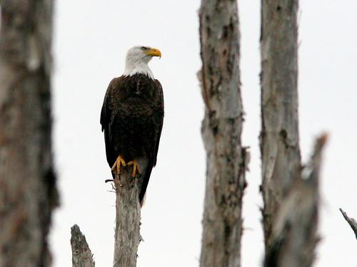 Adult Roosting 20091117