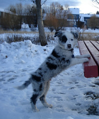 Determained Pup. (J.T Photography) Tags: blue puppy collie nine border weeks merle krave