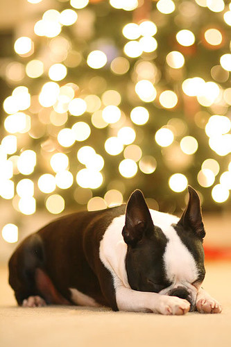 Howie the Boston Terrier Puppy - Christmas Tree Bokeh