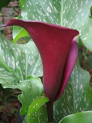 My favourite flower - Calla Lily (jenburn) Tags: red flower lily calla burgundy callalily