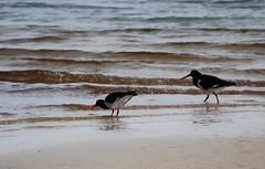 pied 3 (tkmckinn) Tags: birds australia july09