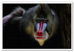 Singapore Zoo - Mandrill