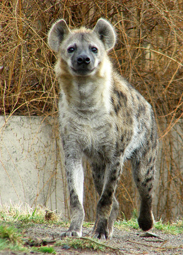 "Spotted Hyena - Honorable Mention ""Student Category"" - 2009 Buffalo Zoo Photo Contest"