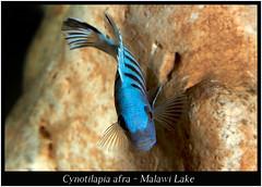 Cynotilapia afra_800_01 (Bruno Cortada) Tags: malawi marino mbunas cclidos sudafricanos tanganyica