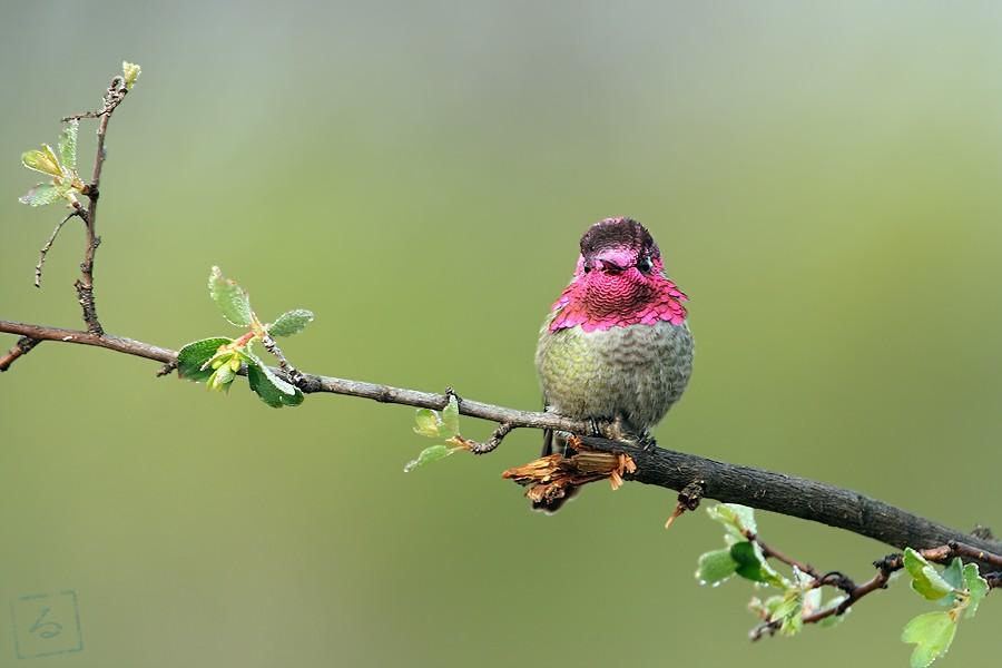 Anna's Hummingbird 02101-1