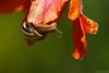 The əpısdn-uʍop Life (Vie Lipowski) Tags: flower nature snail tulip slowpoke detritivore