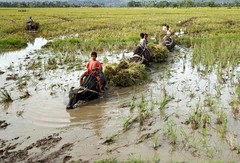 RICEFIELD (Charlie Saceda) Tags: farming harvest ricefield photojournalist southernphilippines zamboangadelsur charliesaceda westernmindanao labangan