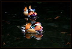Mandarin Duck, Meiji Jingu Shrine, 2.2.10 (Callocephalon Photography) Tags: blue winter red wild orange green bird yellow japan tokyo duck rainbow pond shinjuku purple gaudy harajuku ridiculous males mandarin colourful visitors mandarinduck aixgalericulata meijijingushrine anseriformes canonef300mmf28lisusm canoneos40d