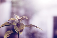 New trees means new hope. (Pedro Lacerda) Tags: new pink light tree wednesday hope purple bokeh seeds clear