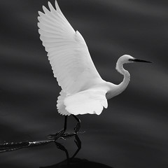 Dancing on the water (austinliula) Tags: white black bird nature water flying dance fishing nikon dancing snap kaohsiung dodge   egret  watcher  birdwatcher   d90    physis 55200mmvr  platinumheartaward secretlifeofbirds  slbtakeoff