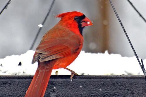 cardinal alone
