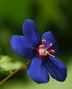 little blue (aziouezmazouz) Tags: flowers blue macro colours ngc canon5d focusing bellissima awesomeshot vibrantcolours macromarvels thebestofday gününeniyisi newgoldenseal