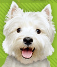 Adorable white terrier