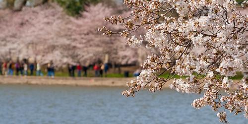 cherry blossom circuit