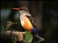 feathered jewel (Jutta