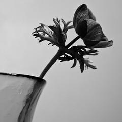 Anemone (still~positive) Tags: flower 50mm mono nikon anemone manual d40