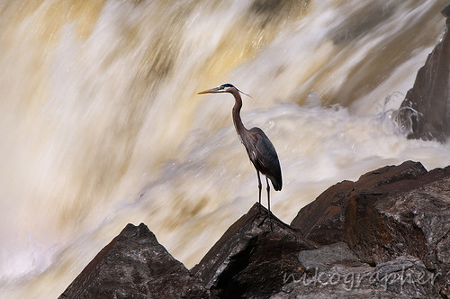 Heron @ Great Falls National Park