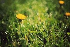 dandelions and dew (carroll.mary (so behind I'll never catch up)) Tags: nature grass lawn dew dandelions carrollmary florabellaactions iheartmornings