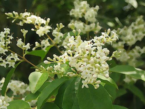 Trachelospermum jasminoides (Tuscan Jasmine)