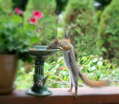 Barney In The Garden (Lori Garske) Tags: squirrel barneythesquirrel lorigarske onephotoweeklycontestwinner